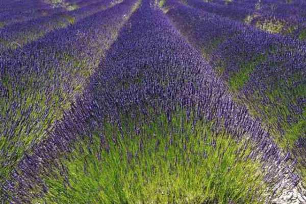 Fields of Lavender for L'occitane