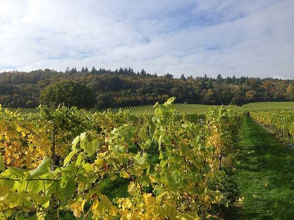 Denbies Wine Estate, Surrey, England - Vineyard in the sun