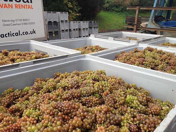Denbies Wine Estate, Surrey, England - Grapes prior to processing