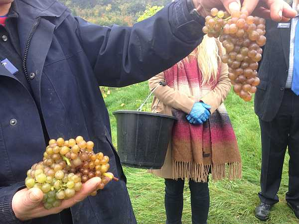Denbies Wine Estate, Surrey, England - Grape Pickers assessing the quality
