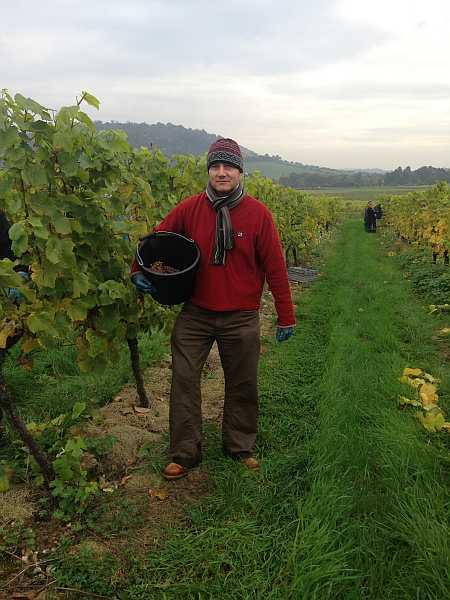 Denbies Wine Estate, Surrey, England - Head of Gentlemans Butler, Michael Grenville set to work picking grapes