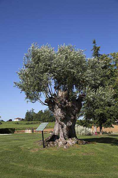 La Belle France - Magrez Luxury Wine Experience - Ancient Olive Tree, found on all Mr Magrez's estates