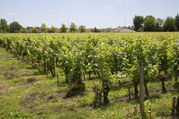 La Belle France - Magrez Luxury Wine Experience - Vines