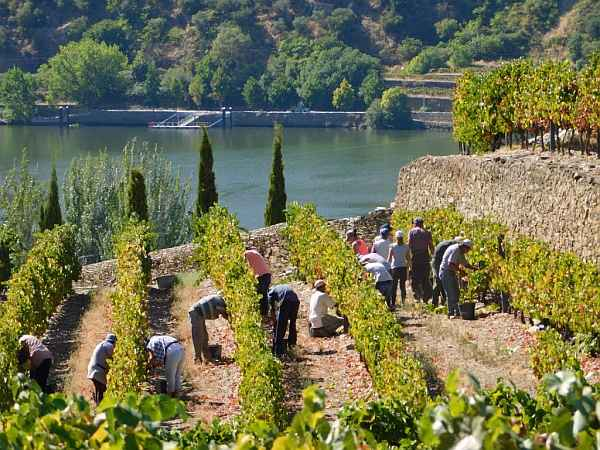Portugal's refined & luxurious Symington's Port, Douro Valley - Workers picking grapes in the Douro Valley