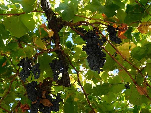 Portugal's refined & luxurious Symington's Port, Douro Valley - Grapes ready for picking