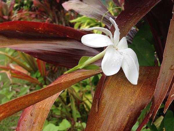 Tahitian courting